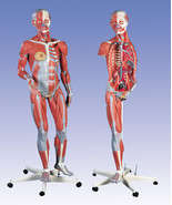 NEW 3B Scientific Deluxe Dual Sex Muscle Figure... - $7,235.00