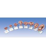 NEW 3B Scientific  Pregnancy Series 8 Part Anat... - $860.00