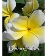 PSA #235 Lemon Chiffon Plumeria Frangipani cutting - $12.95
