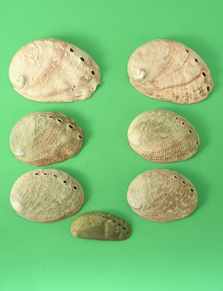 Group of 7 Small Abalone Shells Great for Art or Projects