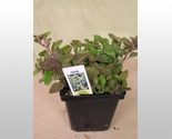 Buy  Live  Greek Oregano  Herb Plant  4 Pot