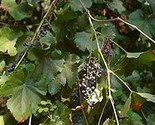 Buy Flowers &amp; Plants - 15 HEIRLOOM California wild grape seeds