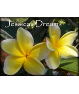 RARE & EXOTIC! Jessicas Dream Hawaiian Plumeria... - $12.95