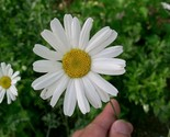 Buy Flowers - 500 TRUE PYRETHRUM SEEDS Natural Pesticide Flower -Tanacetum