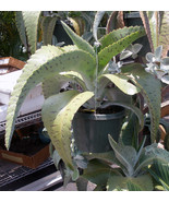 2 Rare & Exotic Tropical Succulent Plants