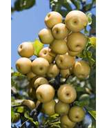 Asian Pear Cocktail Fruit Tree Self Pollinating Rare - $49.99