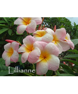SALE Very Rare & Exotic ~Lillianne~ Beautiful P... - $14.95