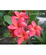 SALE Orange ~ Leona Hoke~ Rare Exotic Fragrant ... - $19.95