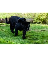 Become A Powerful Jaguar Energy Transition Spell - $24.95