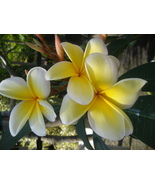 RARE Jessicas Dream + FREE  Hawaiian Plumeria ... - $12.95