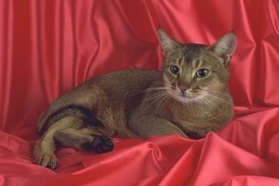 ... of Top 100 Pedigree Cats Canvas Art Abyssinian,usual - Paintings Usual Abyssinian Kittens