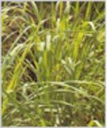 Lemongrass Sage Scented Oil Perfume Rollette 6 mil - $7.99