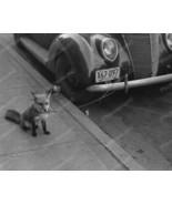 Fox Kept As Pet Waiting For Owner 1940 Vintage ... - $19.99