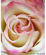 SCARLET RIBBON ROSE Fine Art Photograph Canvas ... - $695.00