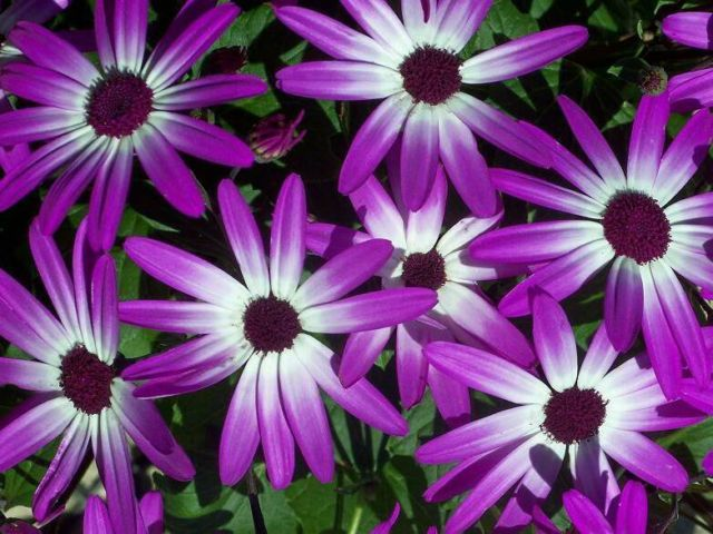 AFRICAN DAISY FLOWER SEEDS - 25 FRESH SEEDS   FREE SHIPPING