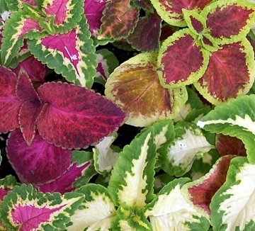 COLEUS FLOWER SEEDS - 25 FRESH SEEDS - RAINBOW MIX - FREE SHIPPING