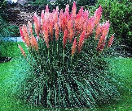 PINK PAMPAS GRASS SEEDS   25 FRESH SEEDS   FREE SHIPPING