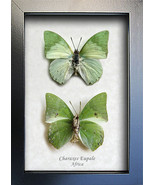 Set Green Leaf Mimic Charaxes Eupale Real Butte... - $59.99