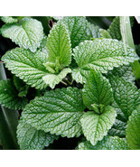 PEPPERMINT HERB MINT SEEDS   25 FRESH SEEDS    - $1.49