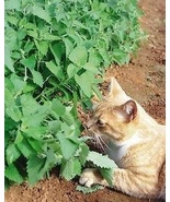 CATNIP - HERB - 25 FRESH SEEDS - CAT GRASS - $1.49