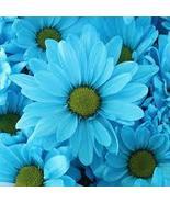 BLUE DAISY FELICIA FLOWER SEEDS - 25 FRESH SEEDS - $1.49