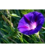 DARK PURPLE MORNING GLORY FLOWER SEEDS - 25 FRE... - $1.49