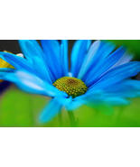 BLUE DAISY FELICIA FLOWER SEEDS - 25 FRESH SEEDS - $1.49