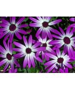 AFRICAN DAISY FLOWER SEEDS - 25 FRESH SEEDS   F... - $1.49