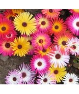 ICE PLANT FLOWER SEEDS - 25 FRESH SEEDS - LAMPR... - $1.49