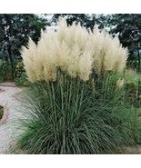 WHITE PAMPAS GRASS SEEDS - 25 FRESH SEEDS - $1.49