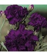 CARNATION FLOWER SEEDS - KING BLACK DEEP PURPLE... - $1.49