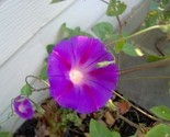 Morning_glory_thumb155_crop