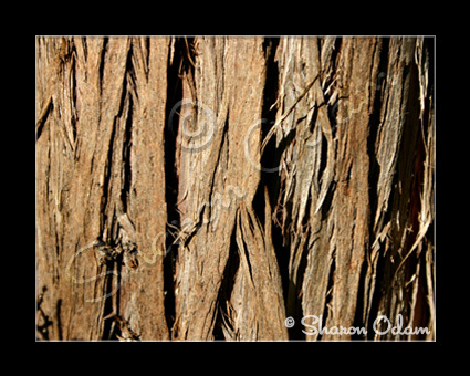 MS-071 Color Art Photo of Cedar Tree Bark
