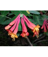 Organic Natve Plant, Trumpet,(Coral) Honeysuckle, Lonicera s