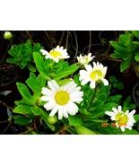 Nippon_daisy_2_thumbtall
