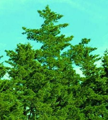 Thyoides atlactic white cedar tree 1500 SEEDS RV 7499 WEDDING FAVORS