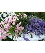 Lavender_rose__thumbtall