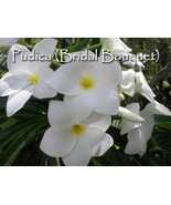 SALE Evergreen! 6 Pudica (Bridal Bouquet) Plume... - $18.95