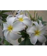 Rare Big Flower *White Dove* (symbol of Peace) ... - $12.95