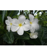 SALE Plumeria ~Hong Kong~ Cutting fragrant, rar... - $15.95