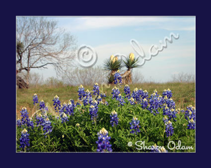 South Texas Scenic of Bluebonnets and Yucca Fine Art Print