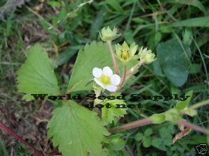 Frageria Vesca WOODLAND Alpine STRAWBERRY ~30+ seeds