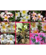 Hawaiian Plumeria Very Fragrant YOUR CHOICE of... - $13.95