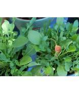 Organic Sheep Sorrel Seeds* High in antioxidants! - $2.99