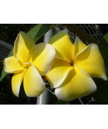 RARE! New Yellow Jack Compact Plumeria cutting - $16.95