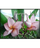 Very Rare & Exotic **Purple Jack** Plumeria Fra... - $19.95