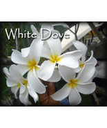SALE Rare Exotic Fragrant Big ~ White Dove~ Plu... - $14.95