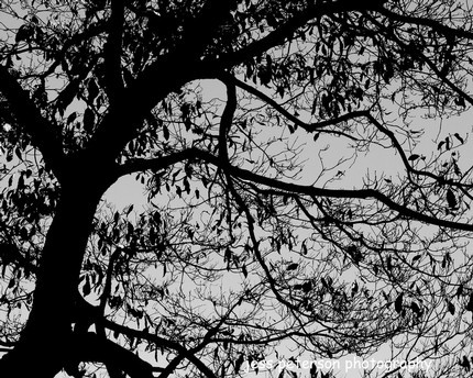 Black and White Silouette of Tree  8 x 10 Print