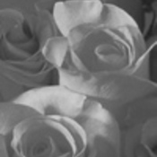 Roses_thumb175