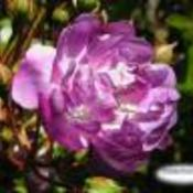 Purplerose1_thumb175